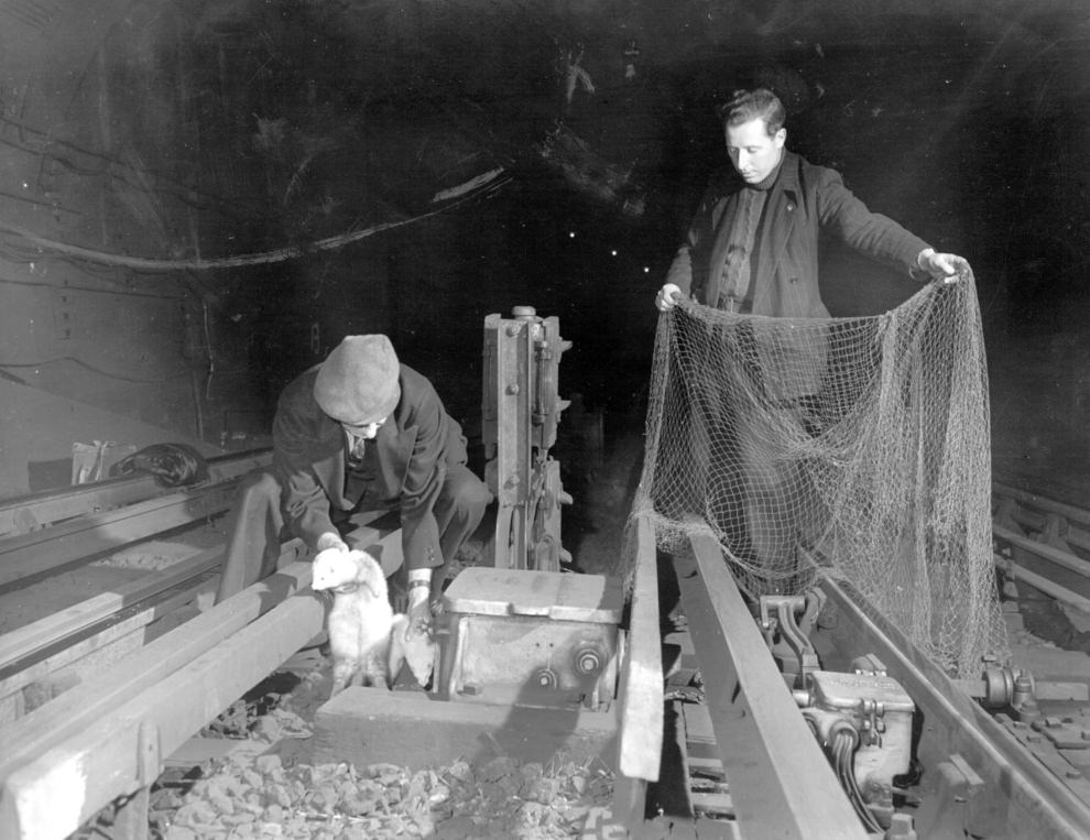 London Underground rat-catchers with their net and ferrets, ca. 1950.