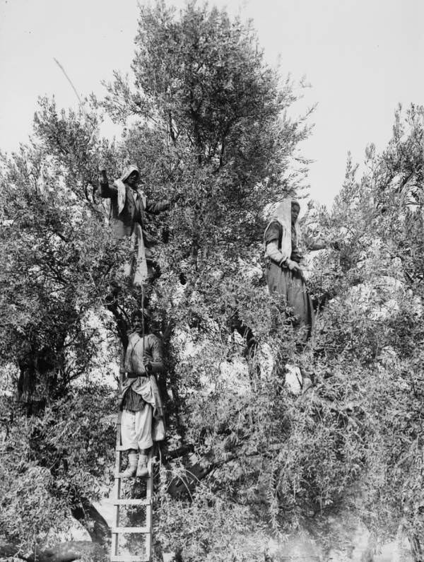 Workers beat olives out of a tree, Circa 1900-1920