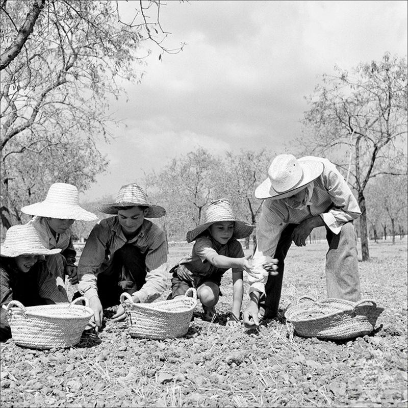 People holding almonds from the ground near Inca, 1957