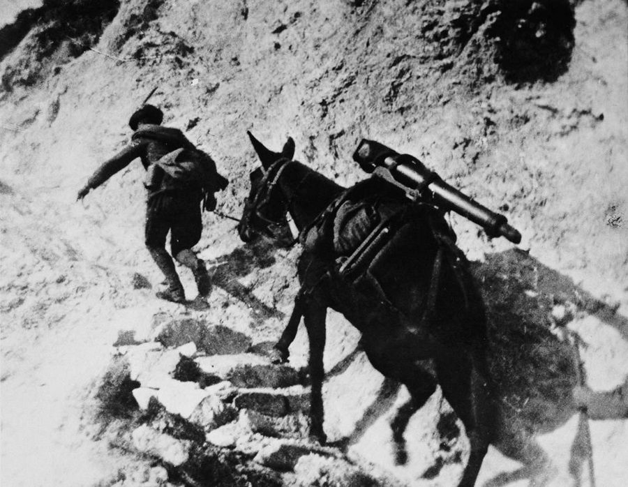 A mule carries heavy weaponry on the high trails of the Isonzo front. 1916.