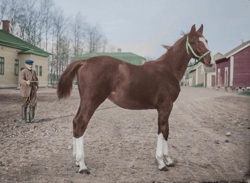 The Hanoverian stallion foal Khedio at the Pickala mansion in southern Finland in 1931