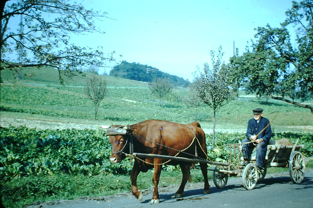 Oxen, Germany, 1949.